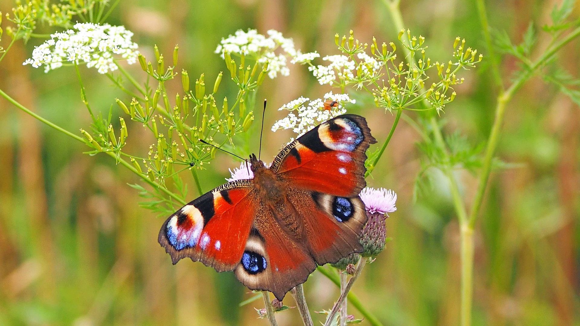 peacock butterfly 1526939 1920